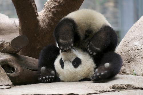 Trop Mignon Un Panda Du Zoo De Toronto Chute Dans La