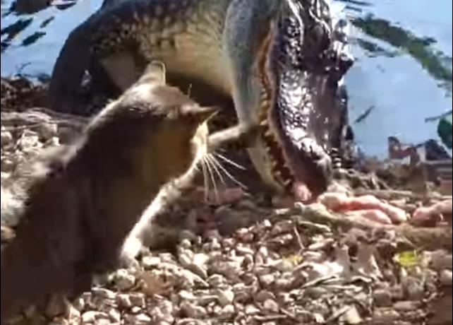 Ce chat s 39 attaque un crocodile fou ou courageux for Attaque de crocodile dans une piscine