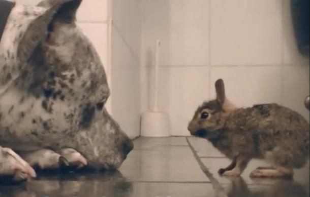 Un pitbull fait la toilette d 39 un b b lapin trop mignon - Photo de lapin mignon ...