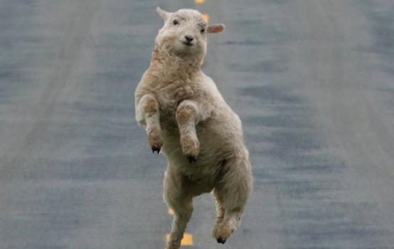 Sexe avec des moutons