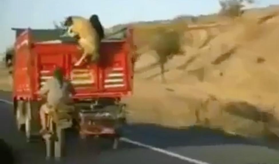 Il vole un mouton en grimpant dans la benne d 39 un camion for Chaise qui roule