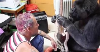 Le bassiste des Red Hot Chili Peppers apprend à un gorille à jouer de la basse