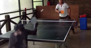 singe joue au tennis de table
