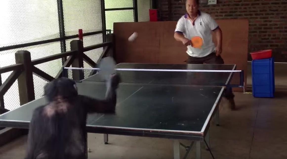 un chimpanz joue au ping pong avec un humain vid os mdr. Black Bedroom Furniture Sets. Home Design Ideas