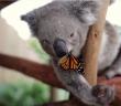 bebe-koala-papillon-photobomb-mignon