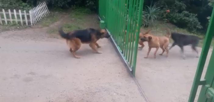 Des chiens se disputent à travers un portail entrain de s'ouvrir