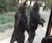 Ces ours ont trouvé un moyen très simple pour obtenir de la nourriture gratuite