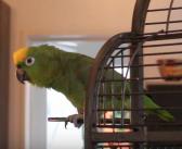 Ce perroquet chanteur d'opéra boude quand on se moque de lui