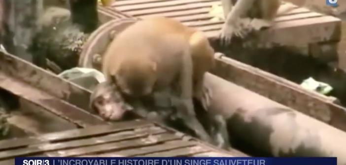 L'incroyable histoire d'un singe sauveteur – une vidéo dont les hommes devraient s'inspirer