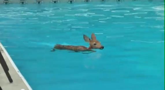 Une petite biche se baigne dans une piscine vid os mdr for Bebe dans piscine