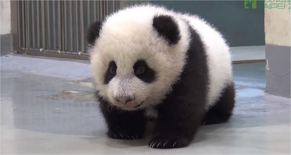 un b b panda apprend marcher vid os mdr. Black Bedroom Furniture Sets. Home Design Ideas