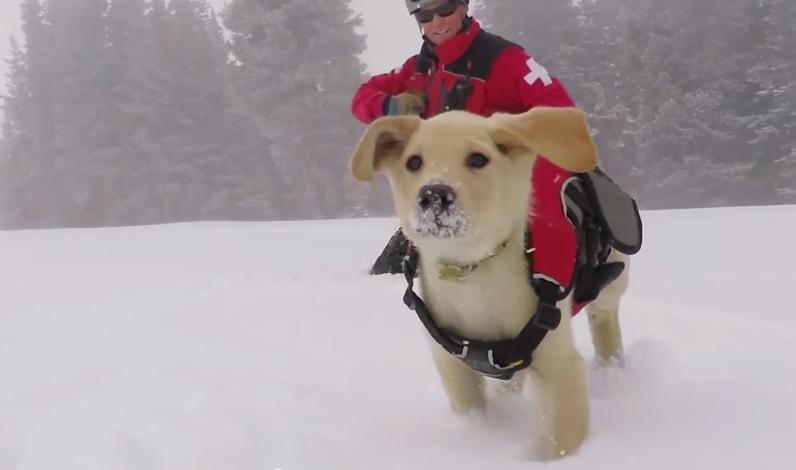 Jake, chiot labrador de 2 mois et futur chien d'avalanche