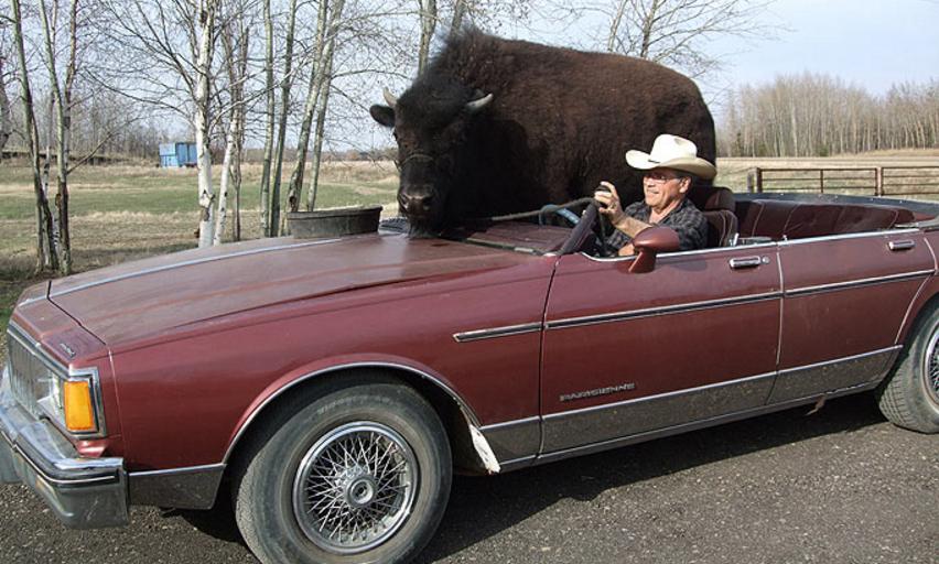 il prom ne son norme bison de compagnie dans sa voiture vid os mdr. Black Bedroom Furniture Sets. Home Design Ideas