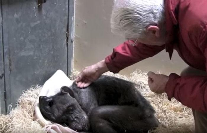 Jan-Van-Hooff-rend-une-visite-a-son-chimpanze-agee-de-9-ans-sur-le-point-de-mourir