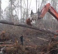 Un orang-outan s'en prend à un bulldozer pour protéger sa forêt